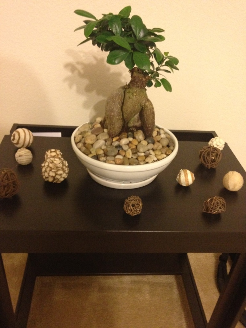 Ficus Ginseng Bonsai Questions