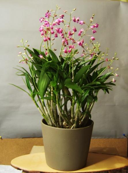 Meine Orchideen Comp_s12