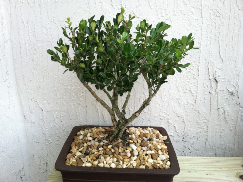 Total beginner... advice on boxwood Img_1610