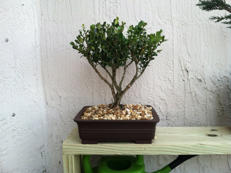 Total beginner... advice on boxwood Img_1611