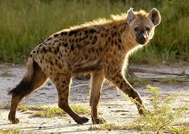 The African Rivals Hyena_10
