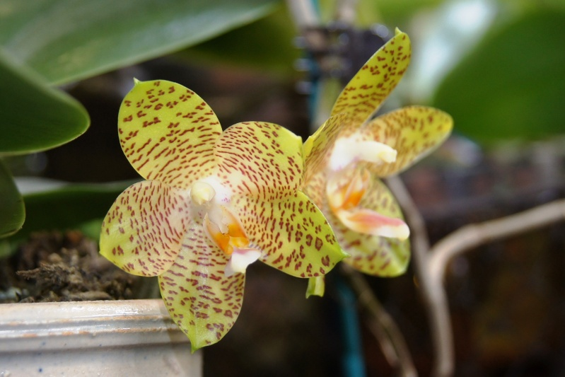 Phalaenopsis - Seite 6 Dsc05611