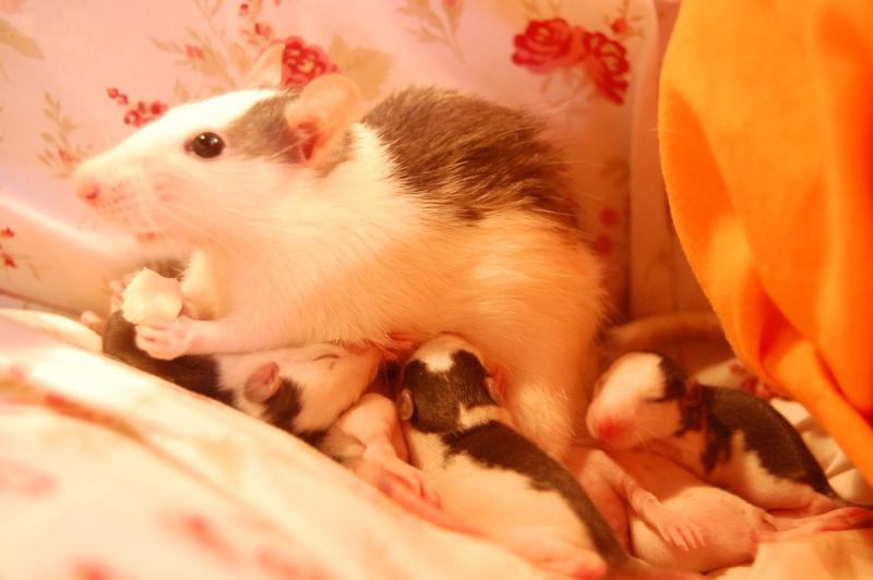 Tchouk et ses 9 adorables ratons husky à adopter sur lyon !!!!! Dsc_0113