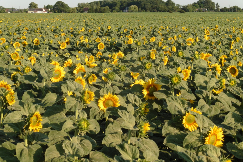 Du tournesol en place du colza dans les Plateaux de Bourgogne et du Barrois. P1060215