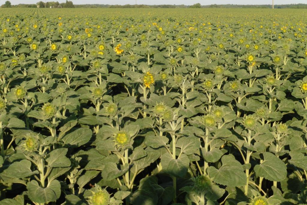 Du tournesol en place du colza dans les Plateaux de Bourgogne et du Barrois. P1060216