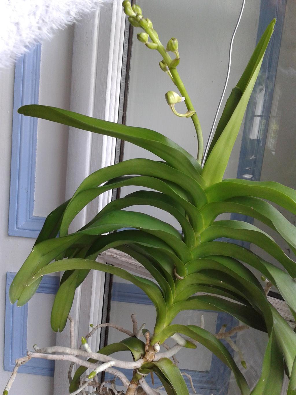 Vandas hybrides : forme des feuilles 2011-011