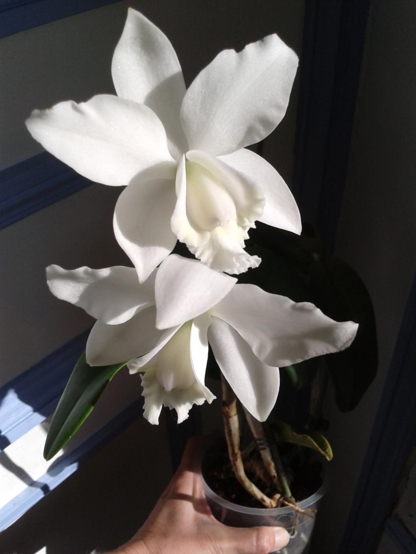 Cattleya hybride blanc 2011-018