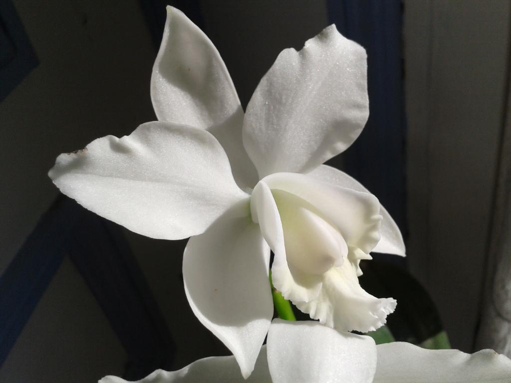 Cattleya hybride blanc 2011-019