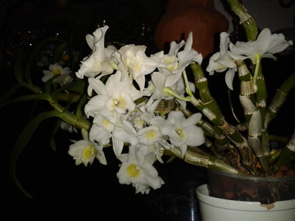 Dendrobium nobile blanc - Page 4 2011-037