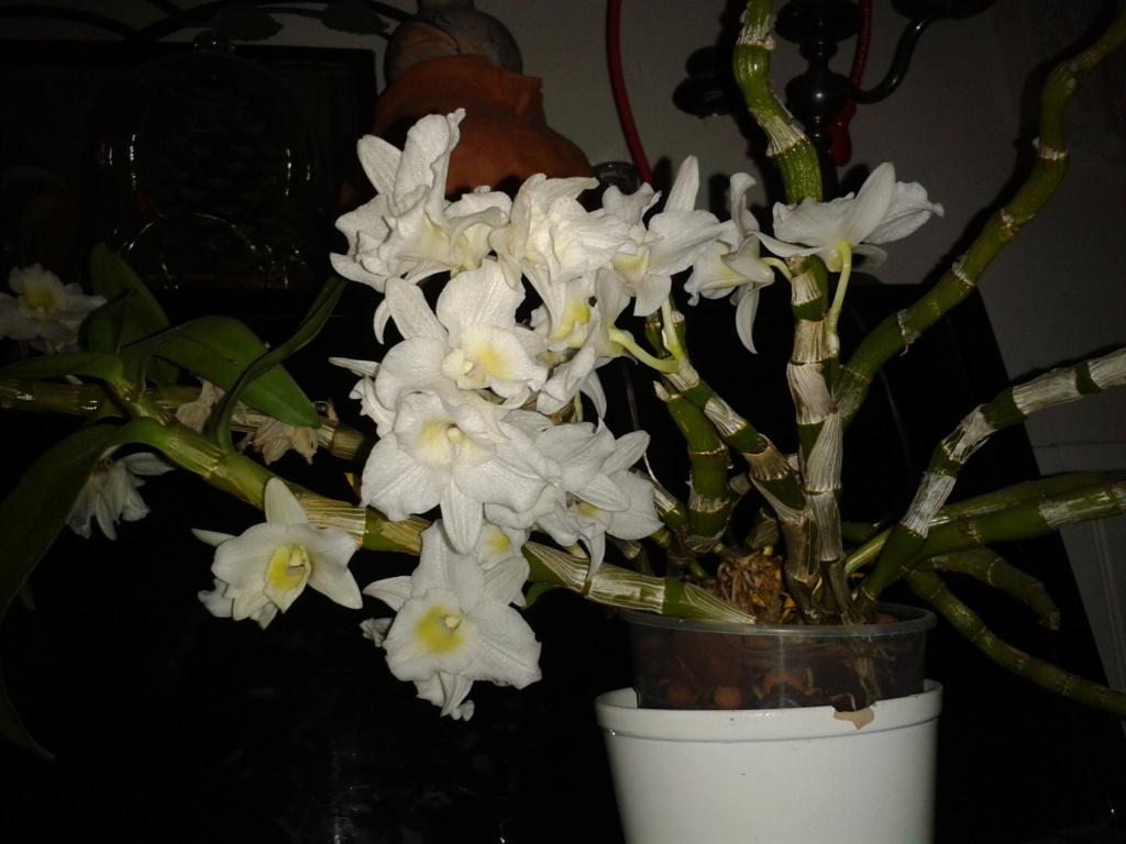 Dendrobium nobile blanc - Page 4 2011-038