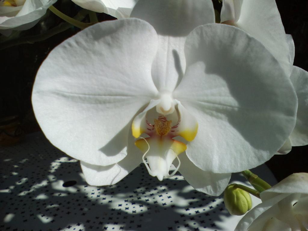 Phalaenopsis blanc (et envahissant) Img_2016