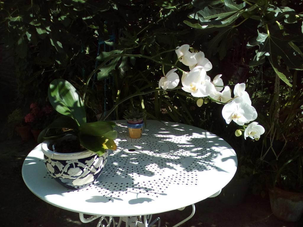 Phalaenopsis blanc (et envahissant) Img_2017