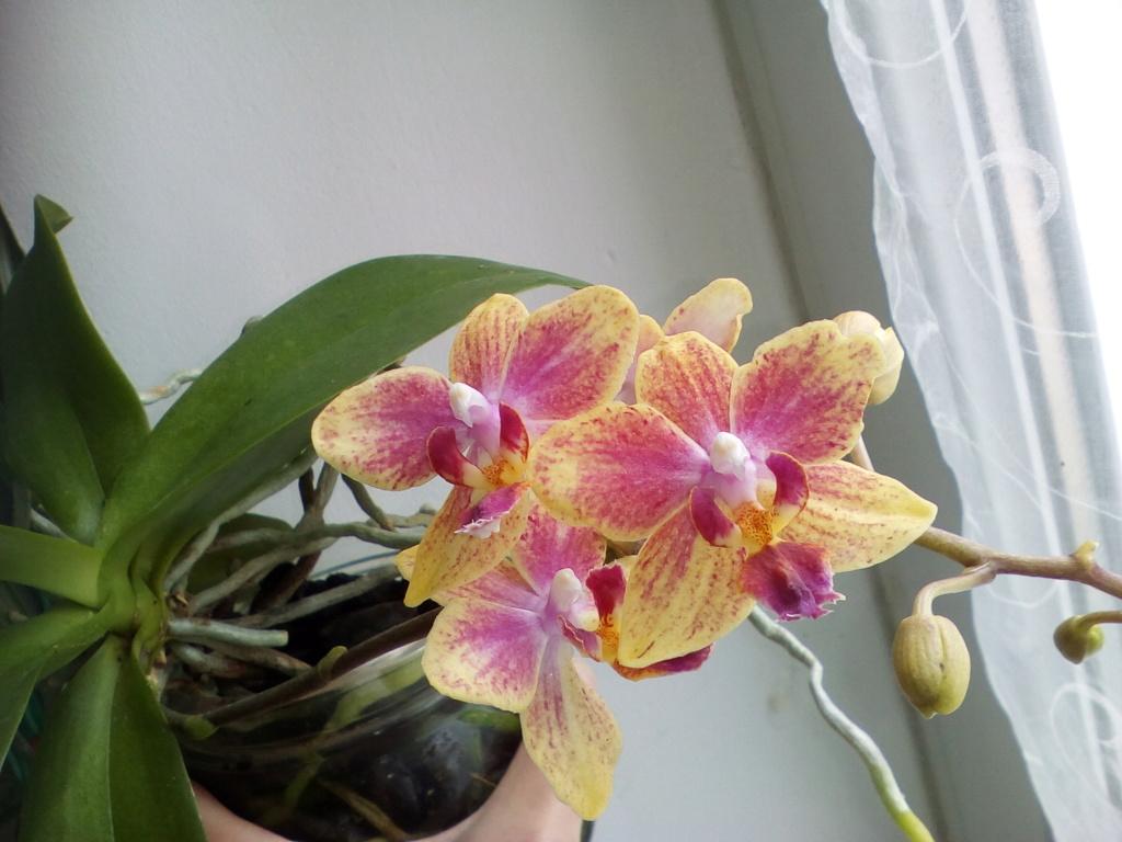 Phalaenopsis hybrides - Page 2 Img_2038