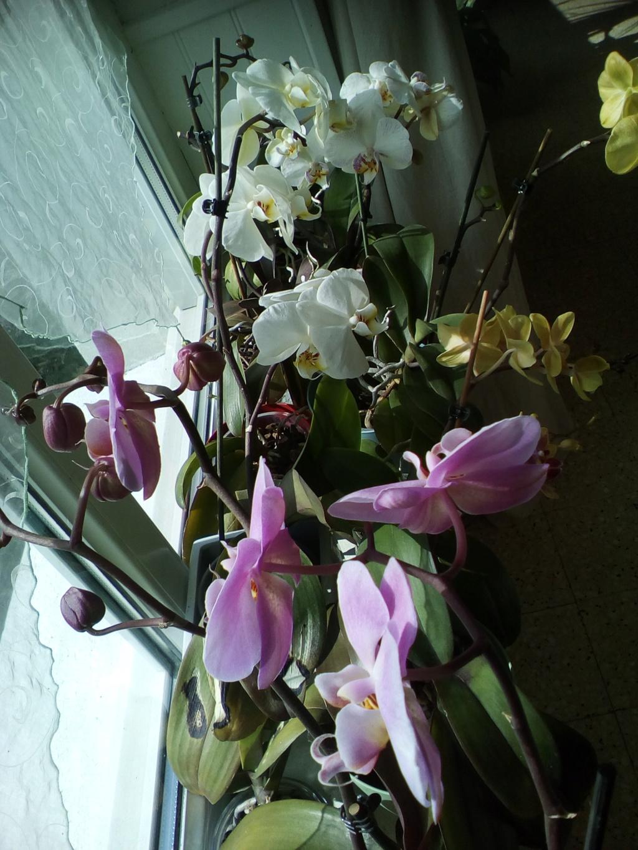 Phalaenopsis hybrides - Page 2 Img_2039
