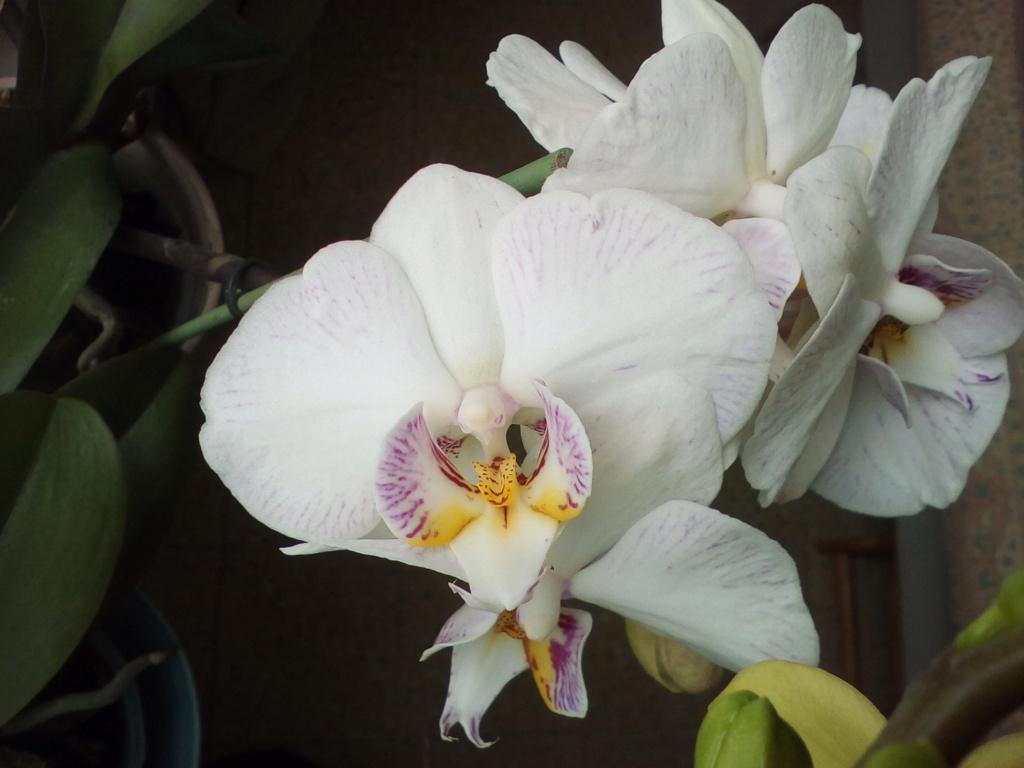Phalaenopsis hybrides - Page 2 Img_2040