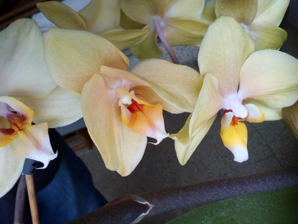 Phalaenopsis hybrides - Page 2 Img_2041
