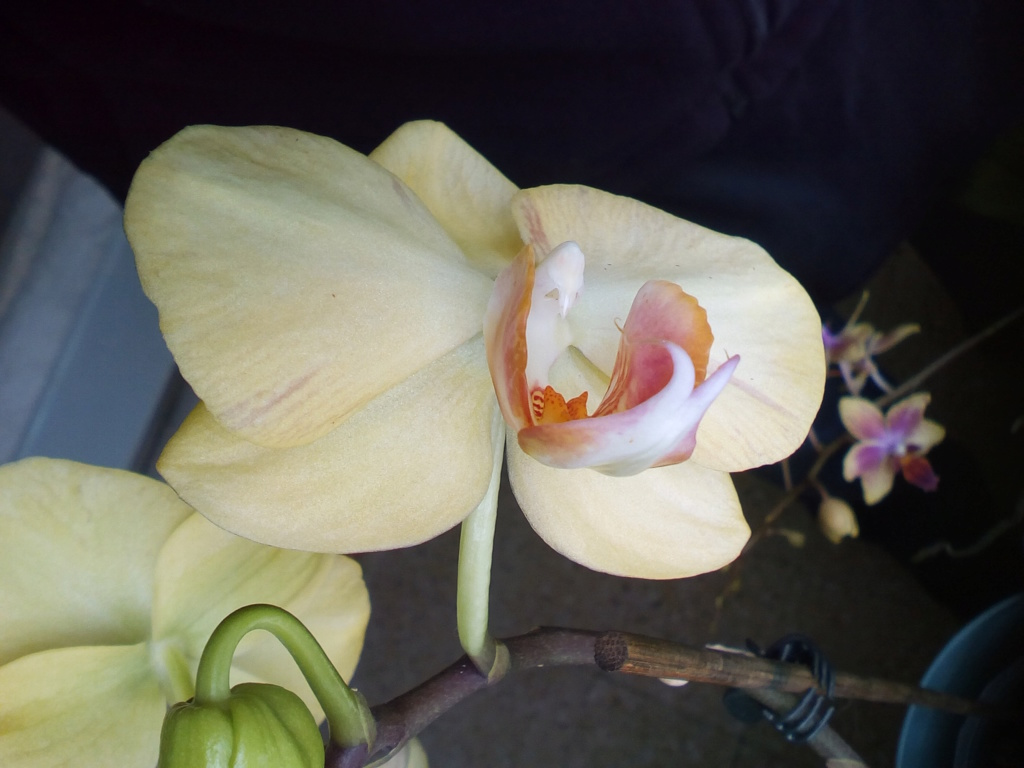 Phalaenopsis hybrides - Page 2 Img_2042