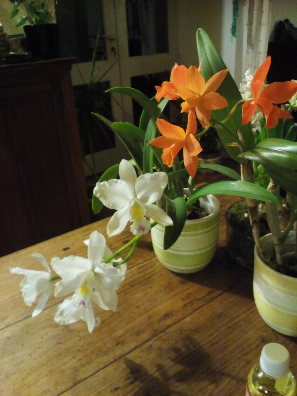 Cattleya blanc Img_2058