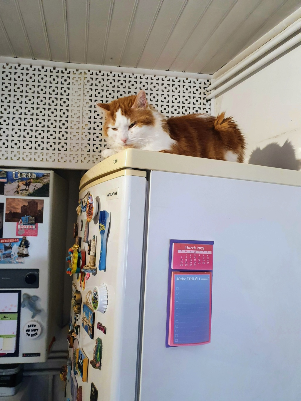 GUISMO (chaton mâle roux et blanc) 20210310