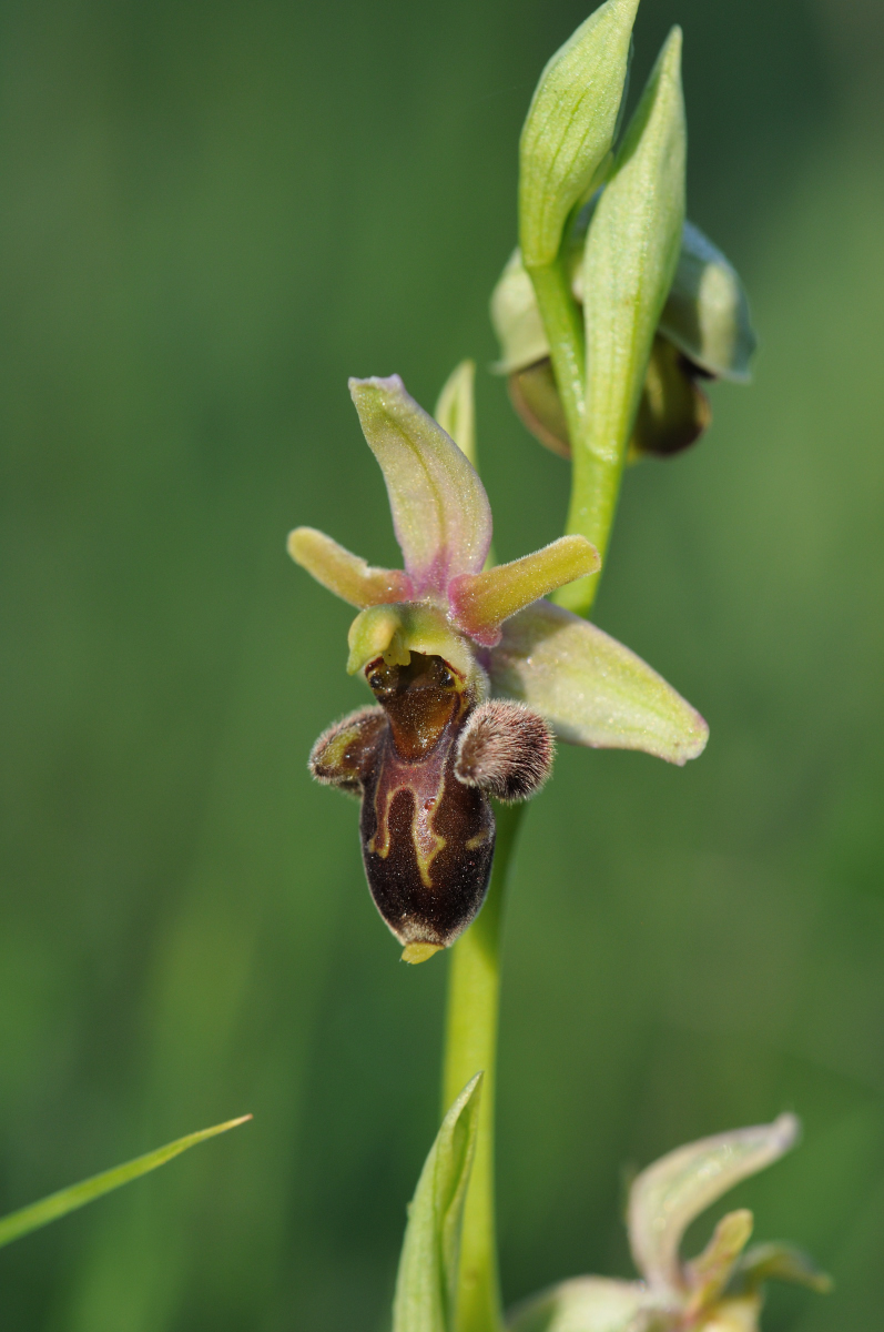 Ophrys aranifera x scolopax (x nouletii) Hyb_212