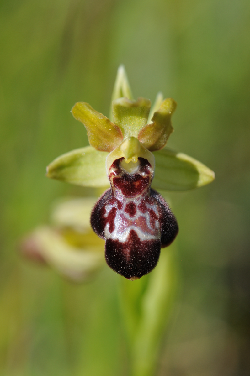 Ophrys passionis x sulcata Hyb_311