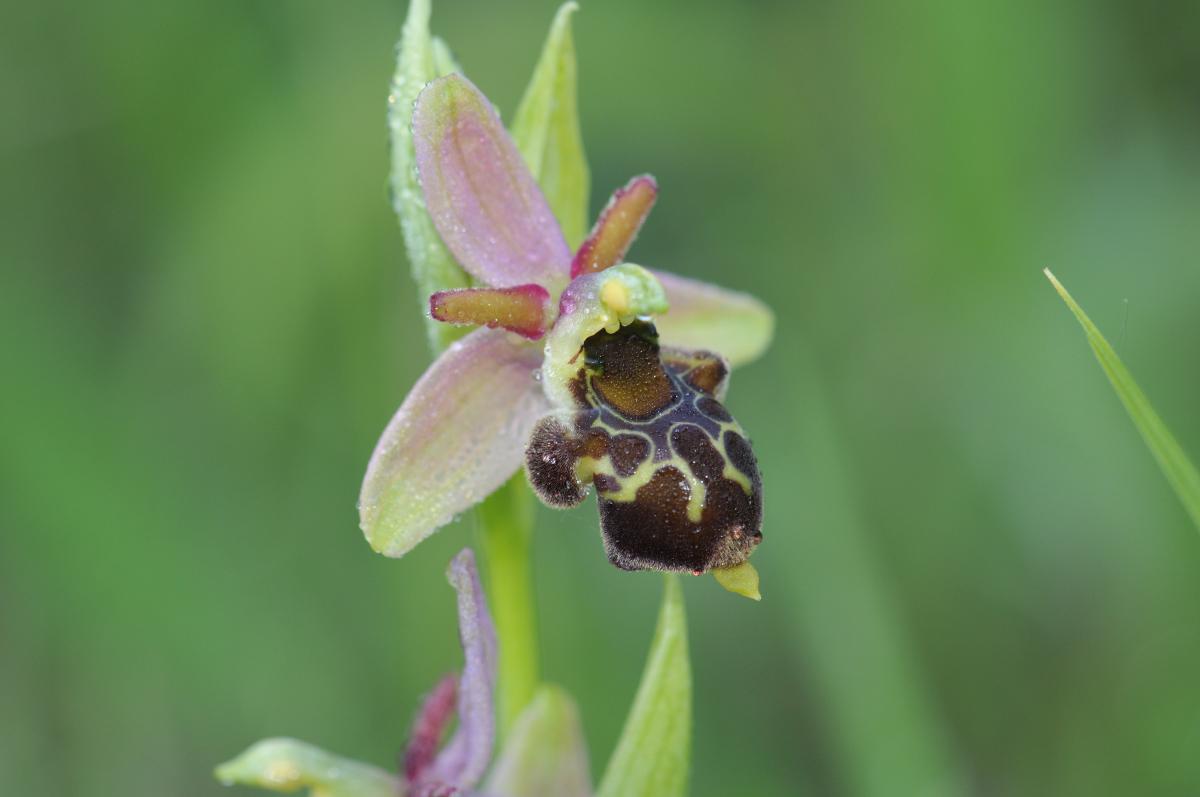 Ophrys aranifera x scolopax (x nouletii) Hyb_312