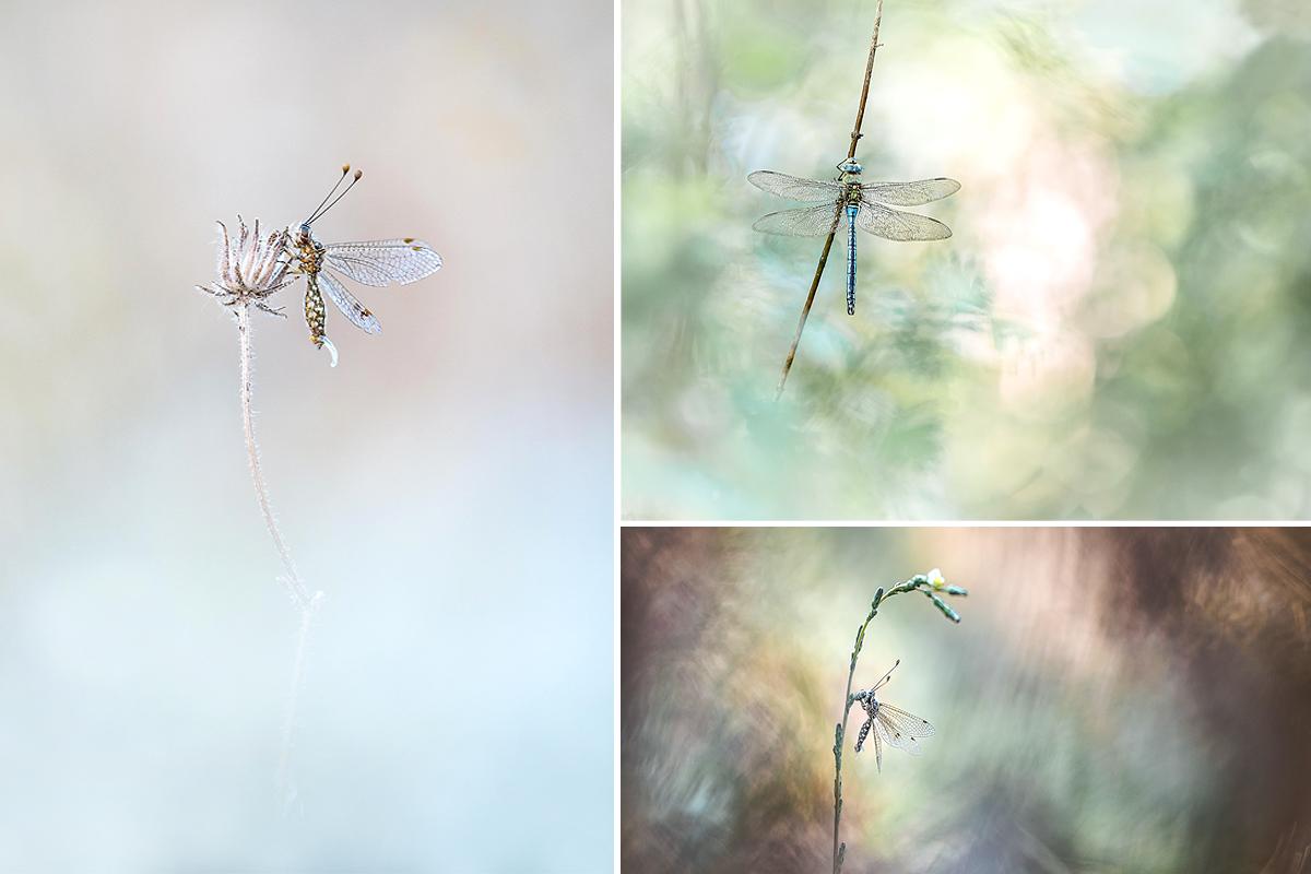 Petit mélange de photos... Ophrys16