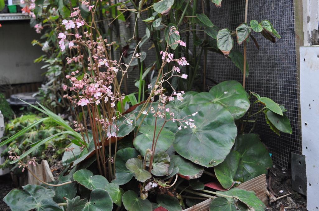 Begonia erythrophylla ? Avril_10