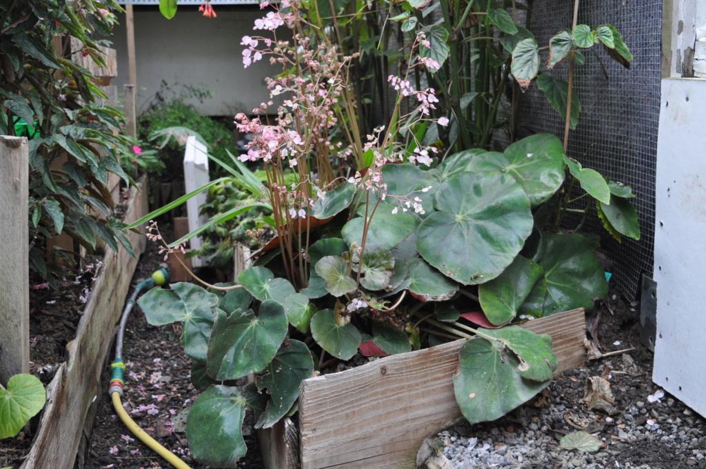 Begonia erythrophylla ? Avril_11