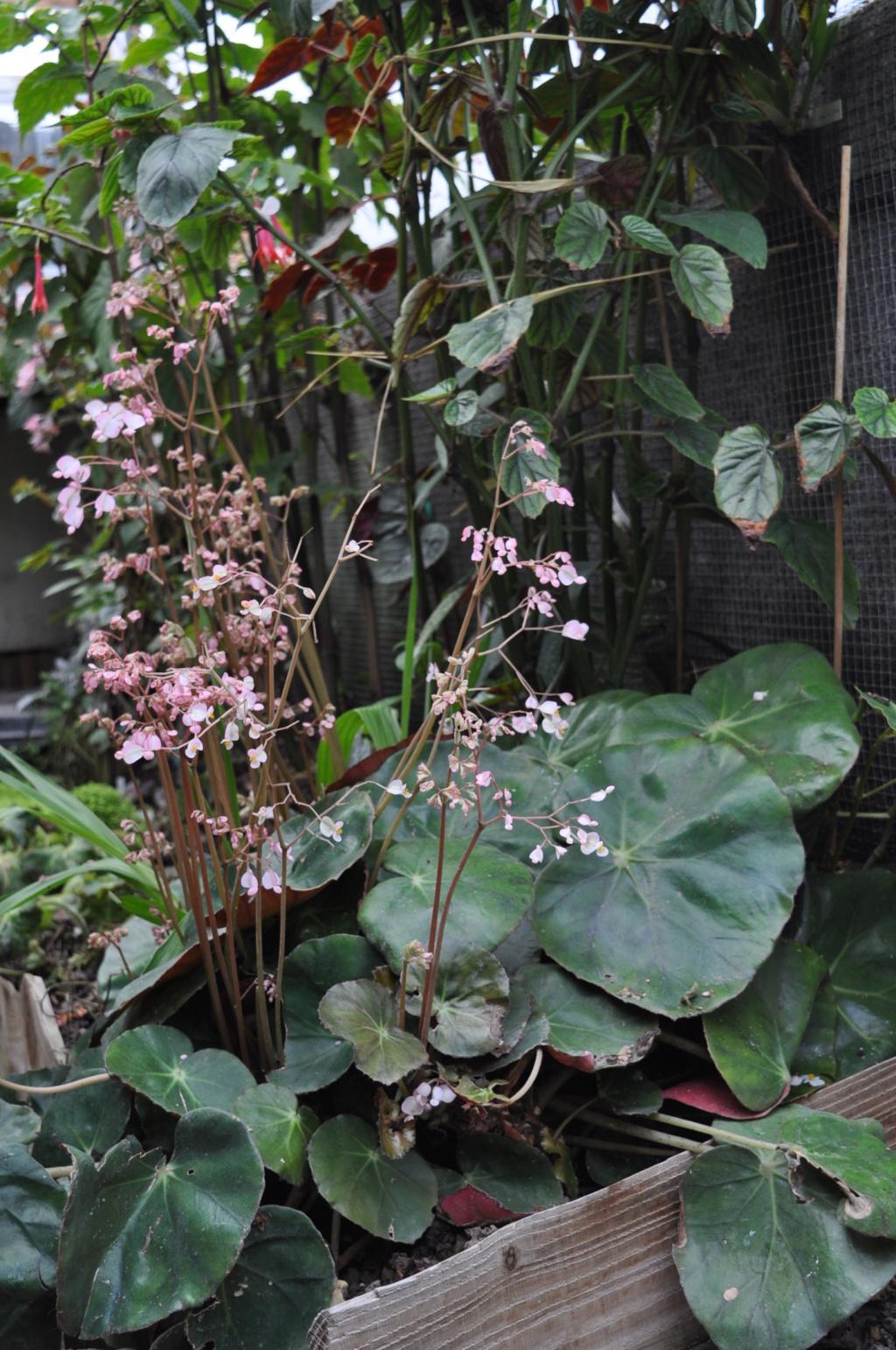 Begonia erythrophylla ? Avril_12