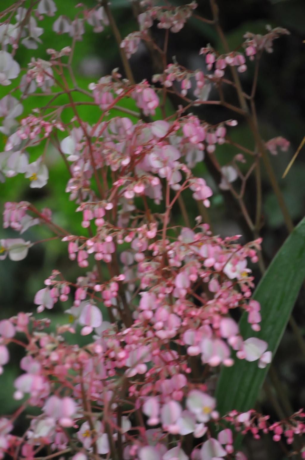 Begonia erythrophylla ? Avril_13