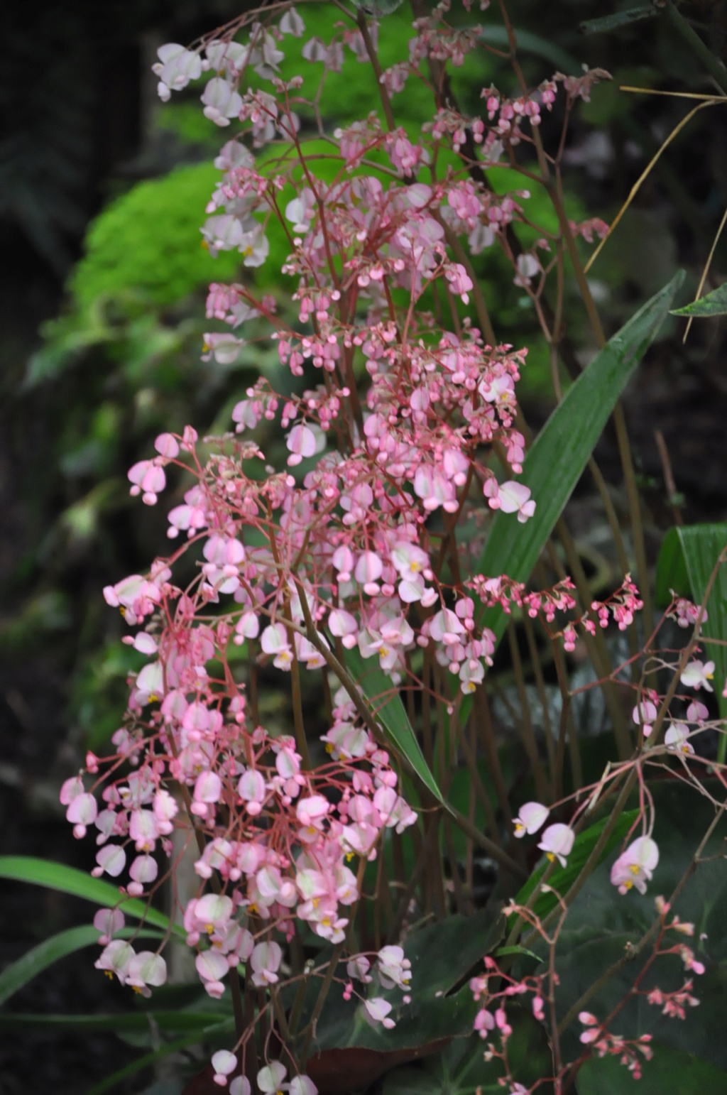Begonia erythrophylla ? Avril_14