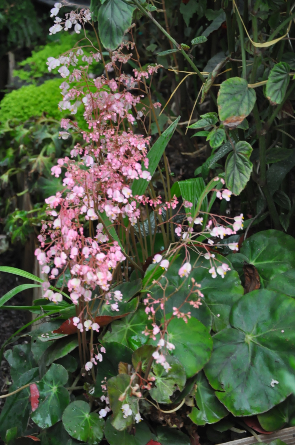 Begonia erythrophylla ? Avril_15