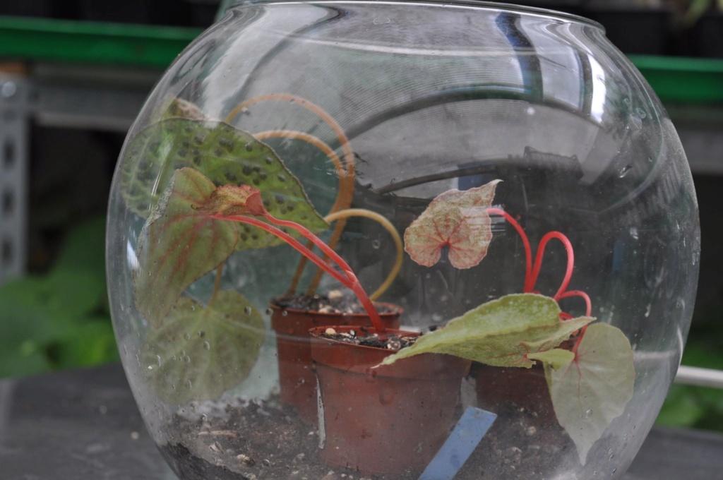Begonia montaniformis Begoni10