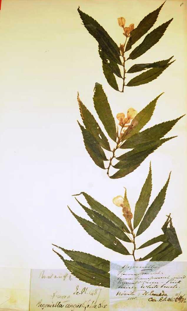 Begonia irmscheri Begoni21