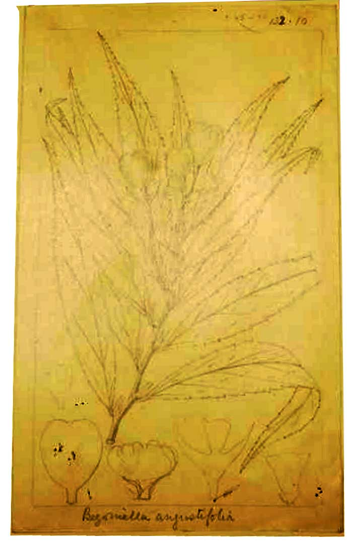 Begonia irmscheri Begoni22