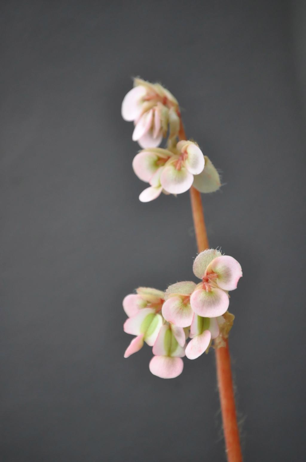 Begonia 'Jacqklod' Janvie68