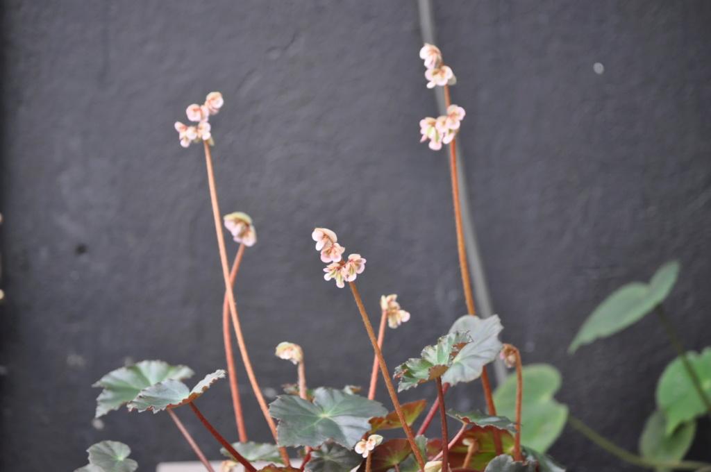 Begonia 'Jacqklod' Janvie69
