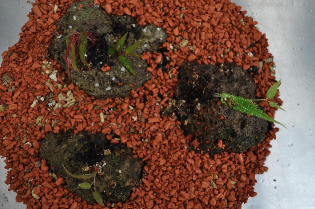Essais avec Begonia pteridiformis Janvie70