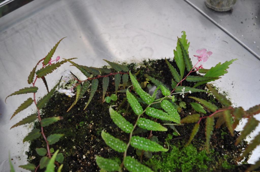 Essais avec Begonia pteridiformis Janvie71