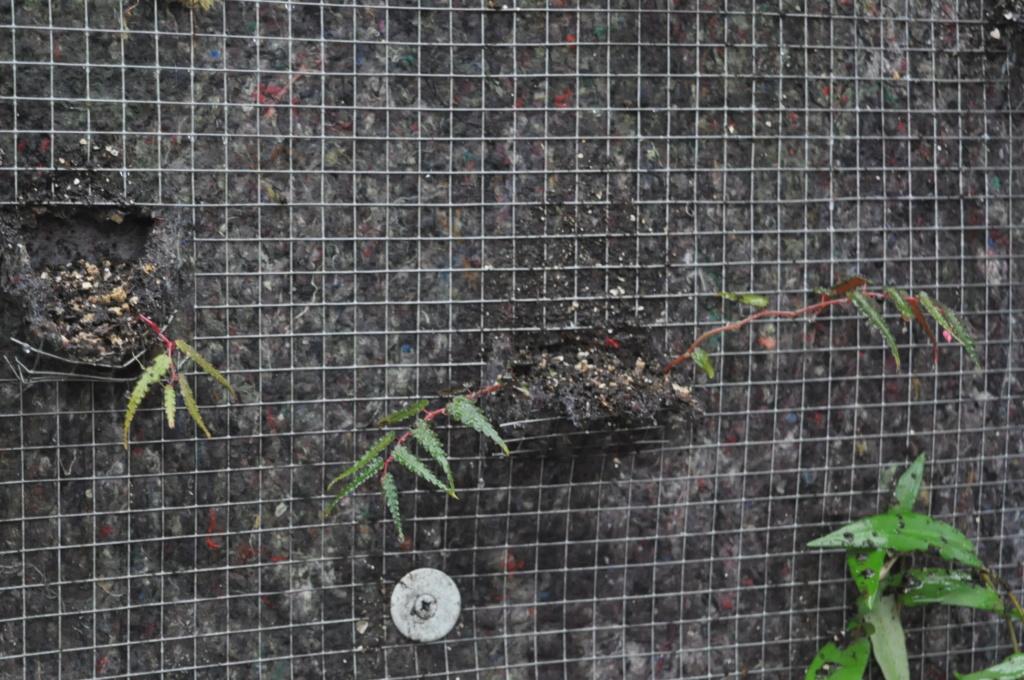 Essais avec Begonia pteridiformis Janvie72