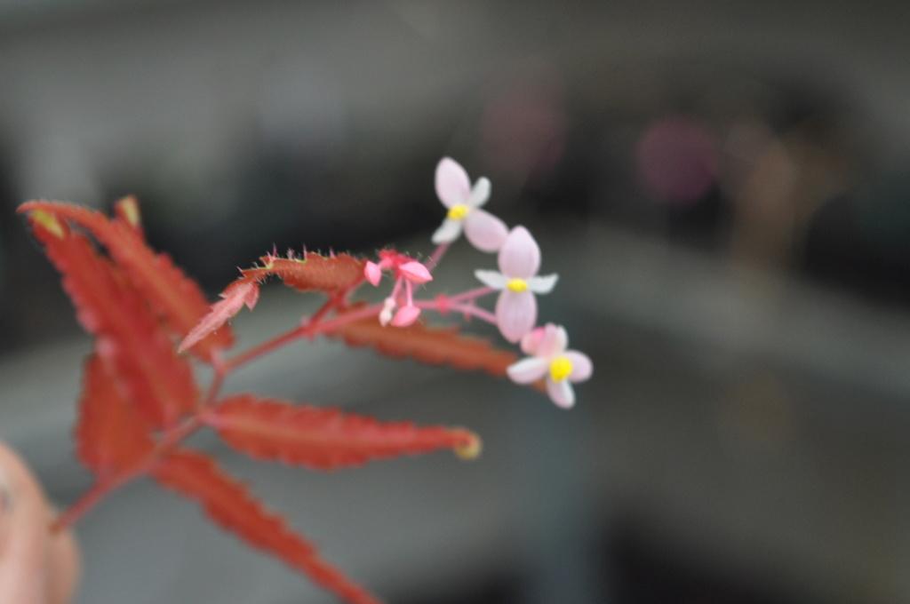 Essais avec Begonia pteridiformis Janvie75
