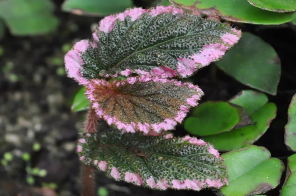 B. U012 [Begonia symbegonia U012] Octobr13