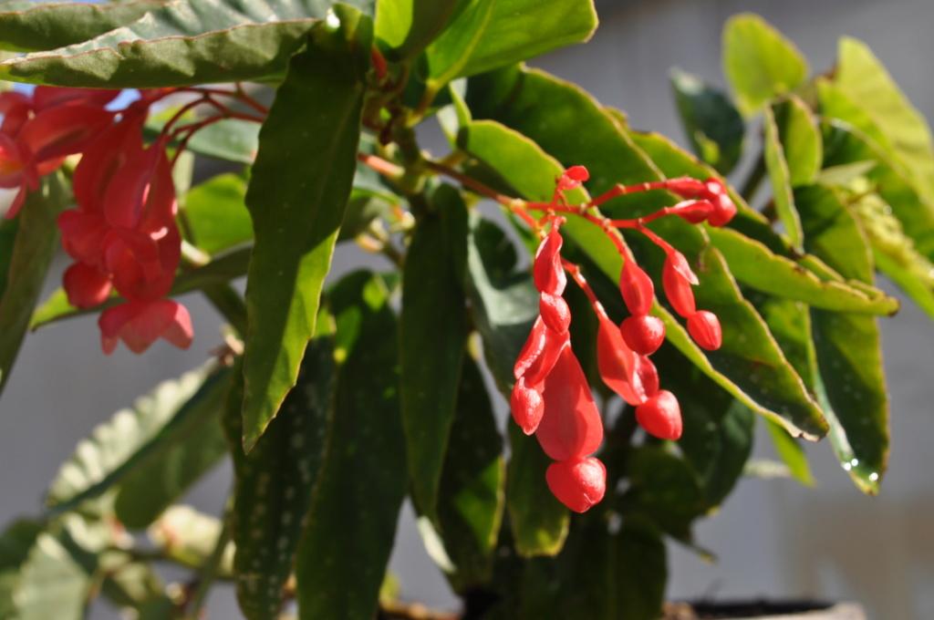 Begonia 'Suzelie Louvet' Septem10