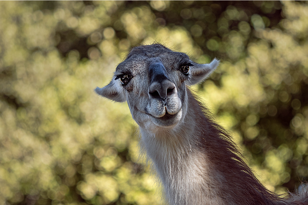 """""""Bonjour du lama """"  :-) _1400210"""
