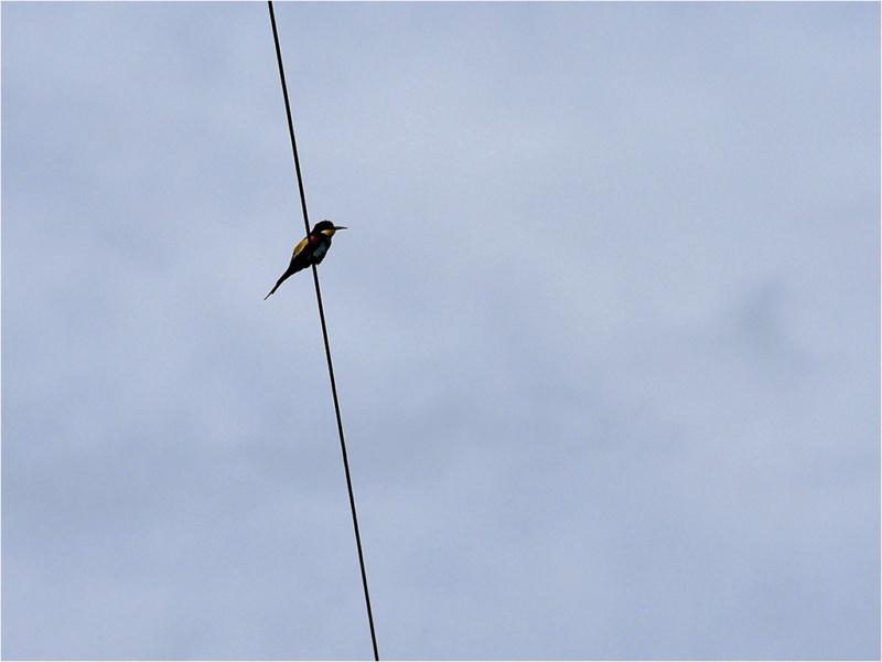 Guêpier d'Europe (Merops apiaster) _dsf7110