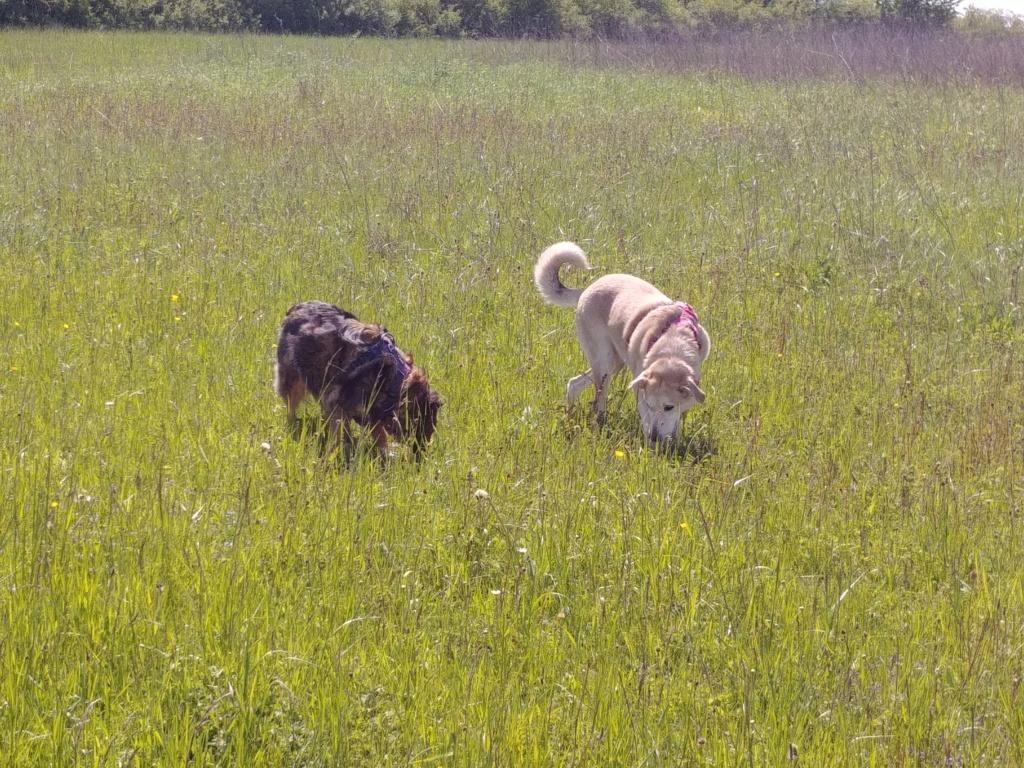 DIANA - femelle Labrador x Retriever de grande taille, née environ février 2010 (Camelia)- adoptée par Béatrice (54)  - Page 3 60069910