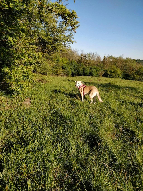 DIANA - femelle Labrador x Retriever de grande taille, née environ février 2010 (Camelia)- adoptée par Béatrice (54)  - Page 3 60186910
