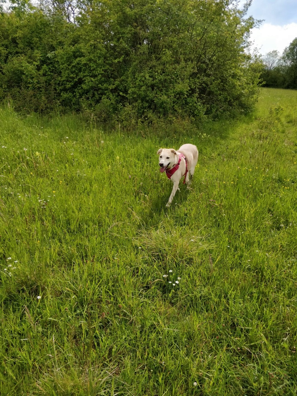 DIANA - femelle Labrador x Retriever de grande taille, née environ février 2010 (Camelia)- adoptée par Béatrice (54)  - Page 3 64839210