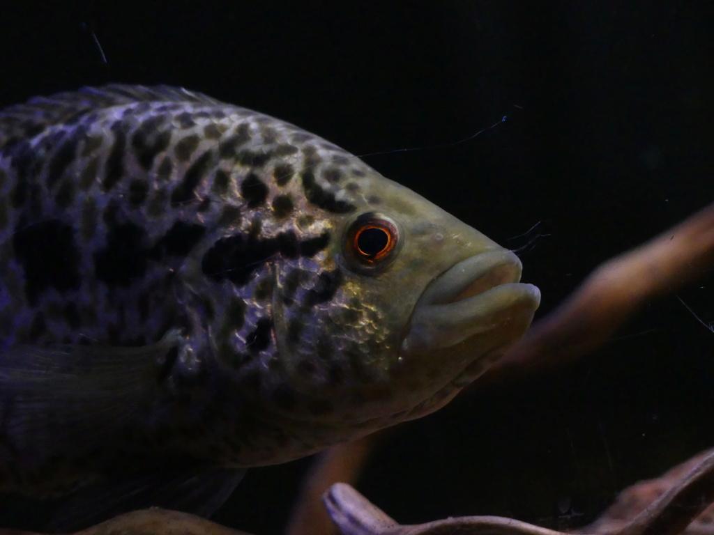 Parachromis managuensis  (Günther, 1867)  Ciclido Jaguar 10103812